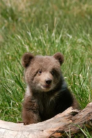 grizzly: Grizzly ourson (Ursus arctos) assis sur le journal dans l'herbe verte