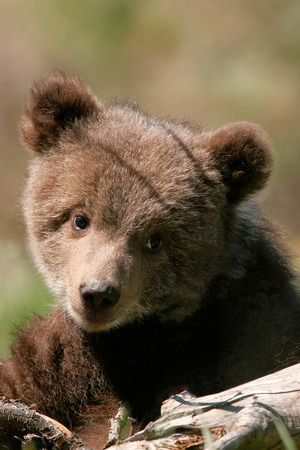 wild brown bear: Portrait of Grizzly bear cub (Ursus arctos)