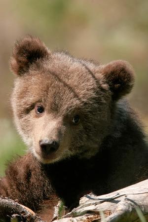 cachorro: Retrato de Cub de oso grizzly (Ursus arctos)