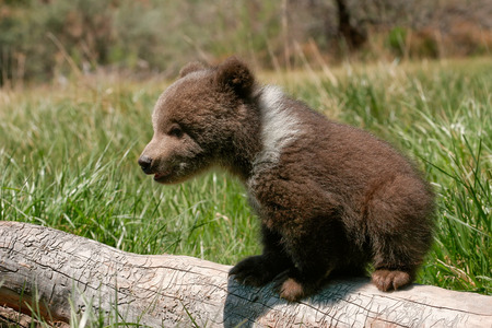bears: Grizzly bear cub (Ursus arctos) sitting on the log in green grass