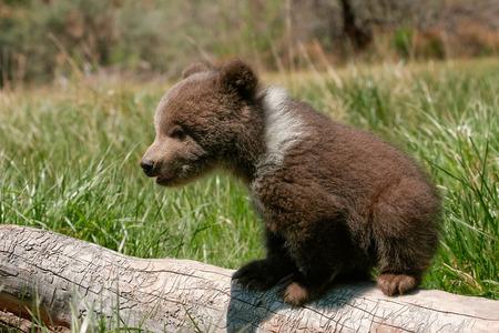 Grizzly cucciolo di orso (Ursus arctos) seduto sul log in erba verde Archivio Fotografico