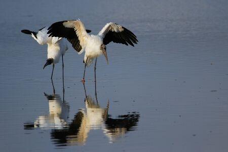 americana: Wood stork (Mycteria americana) spreading wings