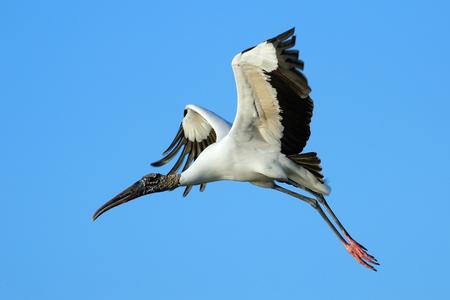 americana: Wood stork (Mycteria americana) flying in blue sky Stock Photo