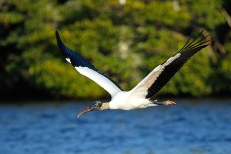 americana: Wood stork (Mycteria americana) flying low above water