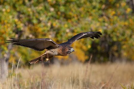 hawk: Red-tailed hawk (Buteo jamaicensis) in flight