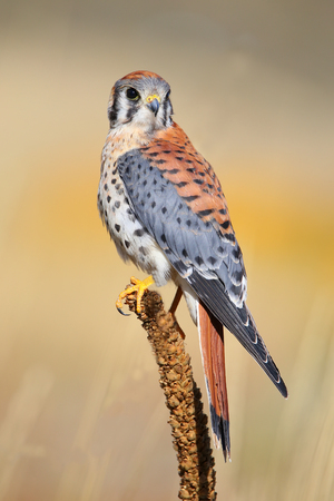 falco: American kestrel (Falco sparverius) sitting on a mullein Stock Photo