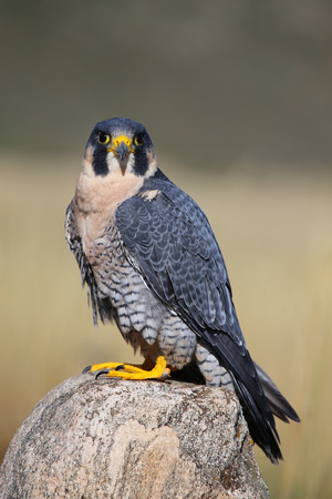 peregrine: Peregrine falcon (Falcon peregrinus) sitting on a rock Stock Photo