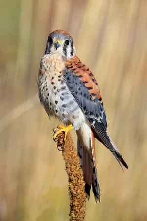 falco: American kestrel (Falco sparverius) sitting on a mullein Stock Photo