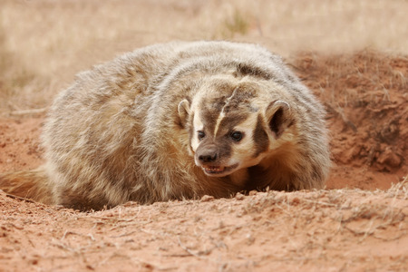 dirt ground: American badger (Taxidea taxus) sitting on the dirt ground