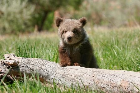 cachorro: Cachorro de oso grizzly (Ursus arctos) sentado en el registro en la hierba verde