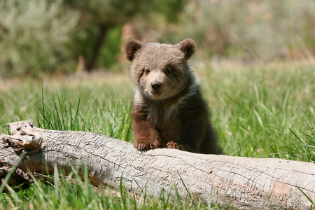 ourson: Grizzly ourson (Ursus arctos) assis sur le journal dans l'herbe verte