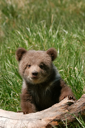 wild brown bear: Grizzly bear cub (Ursus arctos) sitting on the log in green grass