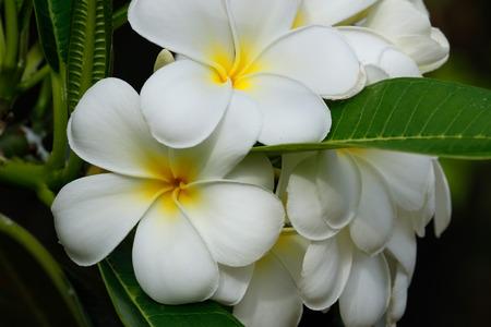 White plumeria flowers on a tree photo