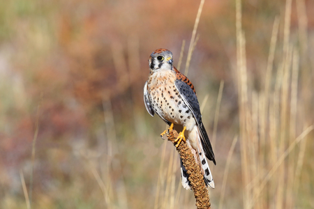 eagle falls: American kestrel (Falco sparverius) sitting on a mullein Stock Photo