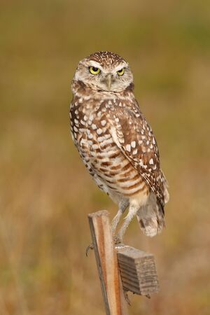 burrowing: Burrowing Owl (Athene cunicularia) sitting on a wooden pole