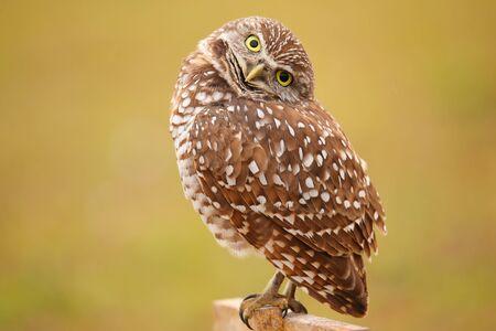 owl eye: Burrowing Owl (Athene cunicularia) sitting on a pole Stock Photo