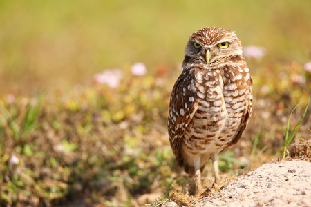 athene: Burrowing Owl (Athene cunicularia) standing on the ground