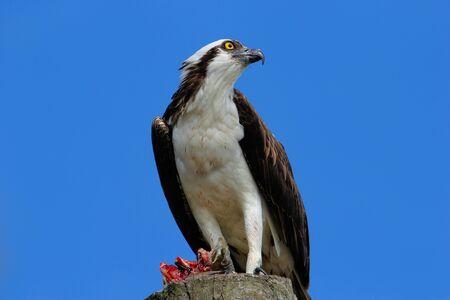 bird eating raptors: Osprey (Pandion haliaetus) with a catch on a light pole