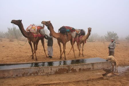 thar: Camels standing by water reservoir in a morning fog, Thar desert, Rajasthan, India