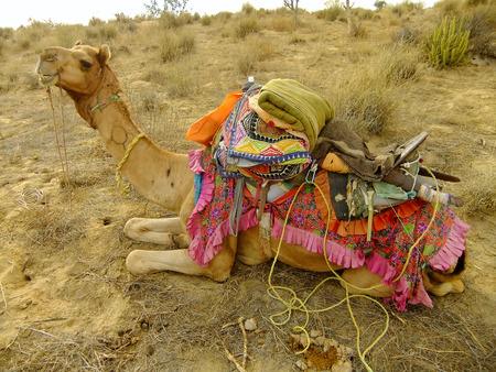 thar: Camel resting during camel safari, Thar desert, Rajasthan, India