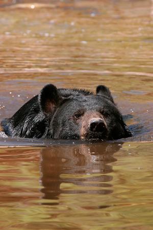 ursus americanus: American black bear (Ursus americanus) swimming in the water Stock Photo