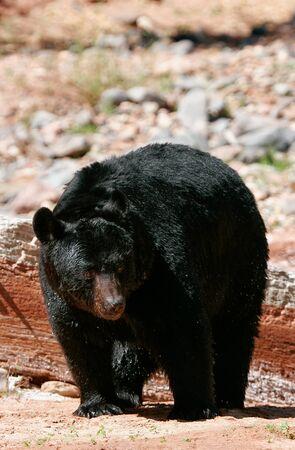 ursus americanus: American black bear (Ursus americanus) walking Stock Photo