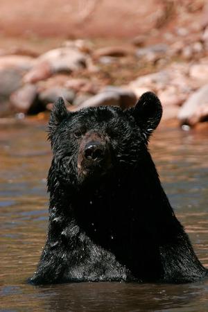ursus americanus: American black bear (Ursus americanus) sitting in a river Stock Photo