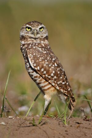 athene: Burrowing Owl Athene cunicularia standing on the ground Stock Photo