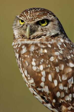 athene: Portrait of Burrowing Owl Athene cunicularia Stock Photo