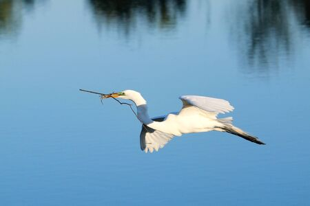 building material: Great egret Ardea alba flying with building material Stock Photo