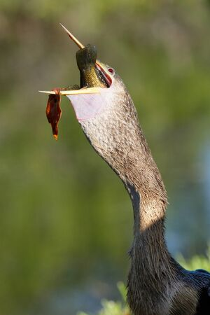 swallowing: Anhinga Anhinga anhinga swallowing fish Stock Photo