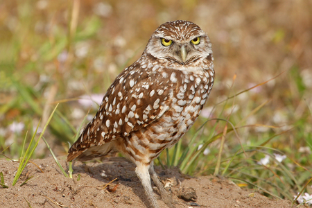 athene: Burrowing Owls Athene cunicularia standing on the ground Stock Photo