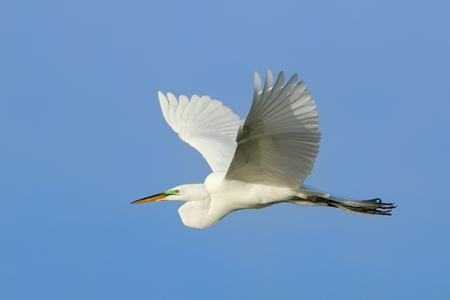 Great egret Ardea alba flying in blue sky Stok Fotoğraf