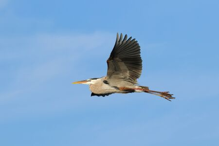 Great blue heron Ardea herodias flying in blue sky photo