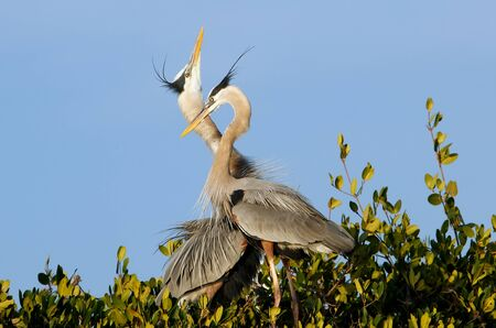 Great blue herons Ardea herodias in the nest photo