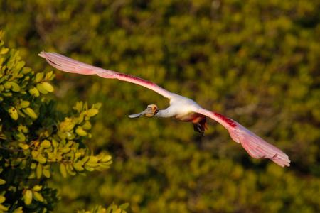 roseate: Roseate Spoonbill Platalea ajaja in flight near the nest