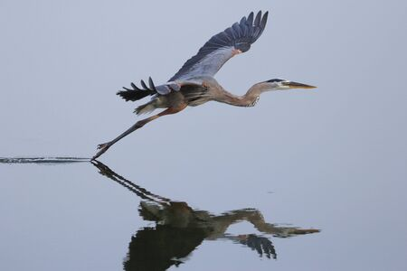 Great blue heron Ardea herodias flying above the water