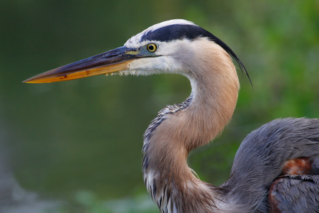 Portrait of Great blue heron Ardea herodias