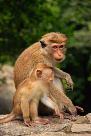 toque: Toque macaques mother and baby sitting at Cave Temple in Dambulla Sri Lanka. Toque macaques live only in Sri Lanka.