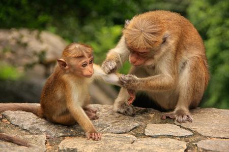 sri lanka temple: Toque macaque Macaca sinica grooming baby at Cave Temple in Dambulla Sri Lanka. Toque macaques live only in Sri Lanka.