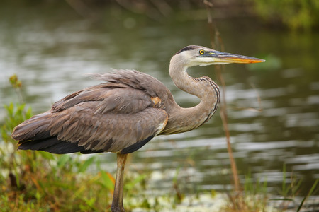 Great Blue Heron Ardea herodias standing by the water. It is the largest North American heron. photo