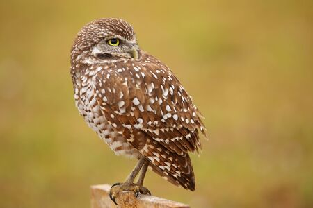 see the usa: Burrowing Owl Athene cunicularia sitting on a pole