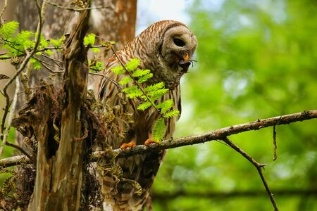 Barred owl Strix varia holding crayfish in tis beak. Barred owl is best known as the hoot owl for its distinctive call photo