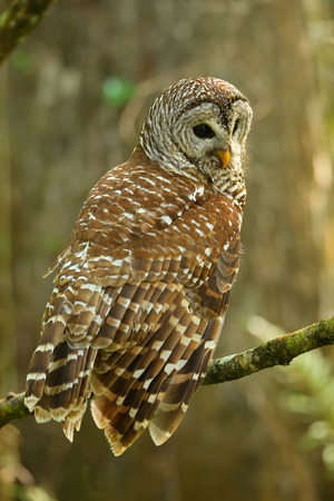 sowa: Barred owl Strix varia sitting on a tree. Barred owl is best known as the hoot owl for its distinctive call