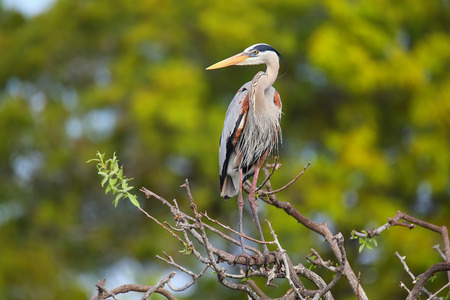 Great Blue Heron Ardea herodias standing on a tree branch. It is the largest North American heron. photo
