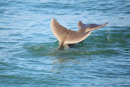 dolphins: Tails of diving Common bottlenose dolphins near Sanibel island in Florida