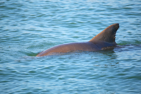 bottle nose: Common bottlenose dolphin showing dorsal fin near Sanibel island in Florida