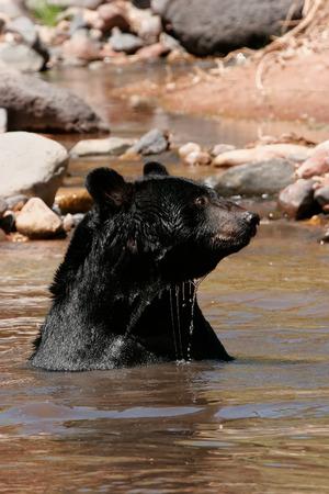 ursus americanus: American black bear Ursus americanus sitting in a river Stock Photo