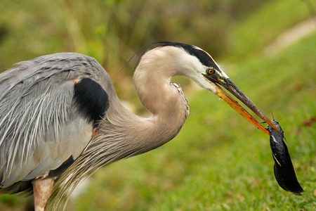 herodias: Portrait of Great blue heron Ardea herodias eating fish