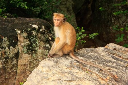 koksmuts: Toque macaque Macaca sinica sitting on a rock at Cave Temple in Dambulla, Sri Lanka. Toque macaques live only in Sri Lanka.